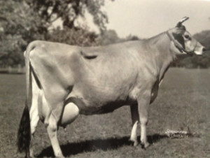 Jersey Milking Cow standing in the field