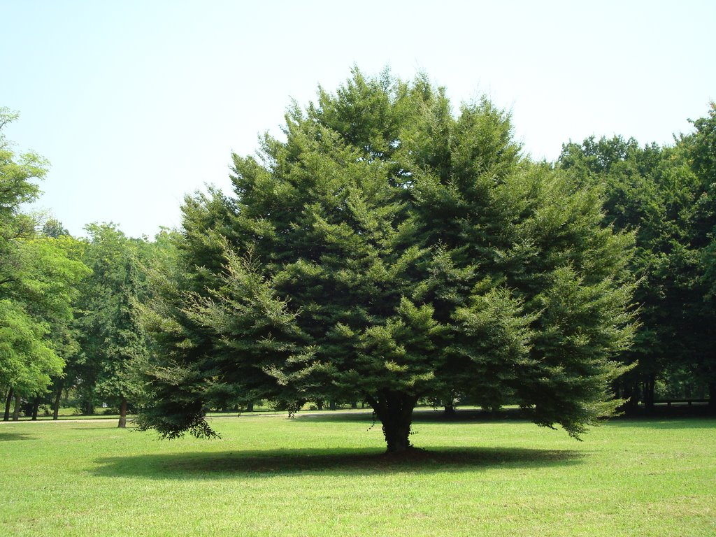 Fernleaf European Beech - Bayard Cutting Arboretum Collection